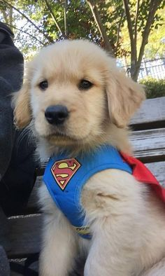 Golden Retriever Superman ❤ adorable