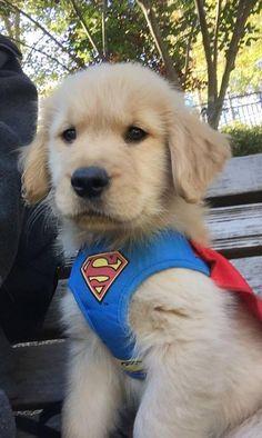 Golden Retriever Superman ❤ adorable