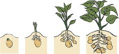 Cruddy picture but great website for growing your own potatoes.
