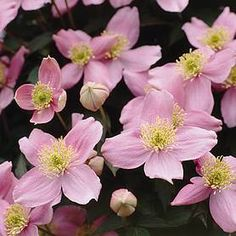 Clematis montana Elizabeth - sweetly scented spring flowers for sale on Trade Me, New Zealand's auction and classifieds website Clematis Montana Rubens, Clematis Plants, Clematis Flower, Flowers For Sale, Covered Garden, Hardy Perennials, Large Plants, Flowering Vines, Plant Sale