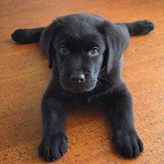 Black lab #puppy Picture by @happylabr