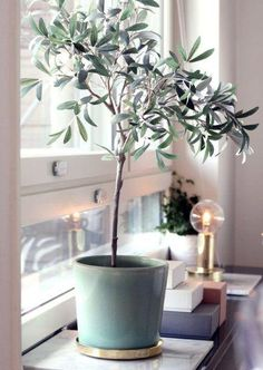 Indoor Gardening How to plant take care of an indoor olive tree - Given the current craze for houseplants, it's hard to imagine there's any un-trod territory there, and yet — I was totally surprised to realize that you can grow an olive tree inside Interior Plants, Interior And Exterior, Tree Interior, Indoor Olive Tree, Indoor Trees, Potted Olive Tree, Big Indoor Plants, Plantas Indoor, Deco Nature