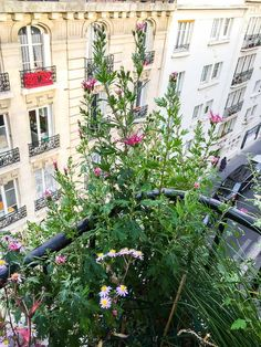 Floraison tardive du chrysanthème 'Goshoma Haru' sur mon #balcon http://www.pariscotejardin.fr/2017/10/floraison-tardive-du-chrysantheme-goshoma-haru-sur-mon-balcon/