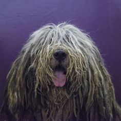 Viggo, un Bergamasco, representa a una de las nuevas razas de #perros presentadas en la exposición canina anual Westminster Kennel Club, en el Madison Square Garden de Nueva York'. (Foto: Stephanie Keith / Getty Images) #nationalgeographic #amorporlosanimales #animal #animales #animallovers #animals #nuevayork #newyork