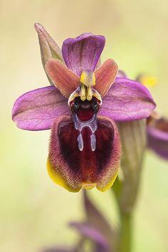 Orquidea hibrida: Todo un placer poder contemplar estas 'rarezas', en esta ocasion se trata al parecer de un hibrido de Ophrys tenthredinifera y Ophrys passionis.