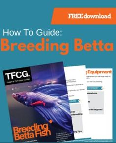 1000 images about betta beauty on pinterest betta fish for How to breed betta fish