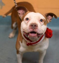 SAFE!!! SUPER URGENT - 02/23/15 Brooklyn Center My name is CASSIDY. My Animal ID # is A1028053. I am a male brown and white am pit bull ter mix. The shelter thinks I am about 1 YEAR 5 MONTHS old. I came in the shelter as a STRAY on 02/15/2015 from NY 11216, owner surrender reason stated was STRAY https://www.facebook.com/photo.php?fbid=967399846606228