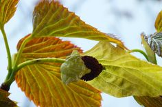 The Handkerchief Tree - it took 25 years for this tree to flower. There was great excitement in the garden the day the first flower was spotted. Farmhouse Garden, Irish, Plant Leaves, Gardens, Flowers, Plants, Irish Language, Outdoor Gardens, Plant