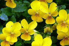 Garden Ideas: Viola Variety in the Flower Garden. #gardening #gardenchat birdsandblooms.com