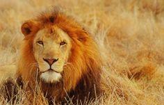 leones rugiendo de frente - Buscar con Google