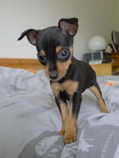 Miniature Pinscher, 3 months old / Pinscher nain, 3 mois