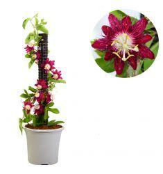 Passiflora New Hybrid Rp 85,000