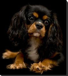 Gorgeous Cavalier!