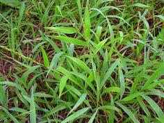 Texas Signalgrass (Urochloa texana). Photo by Sam C. Strickland, Lady Bird Johnson Wildflower Center.