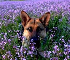 a german shepherd in the flowers