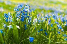 Frühlingserwachen: Blausternchen auf sonniger Frühlingswiese, Scilla, Sibirischer Blaustern, Frühblüher