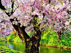 árbol de primavera wallpaper