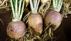 This turnip cousin can provide you with a stock of root veggies to eat winter-long if you pay attention to these simple planting tips.