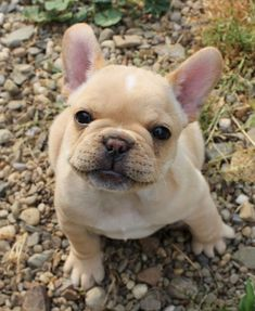 The major breeds of bulldogs are English bulldog, American bulldog, and French bulldog. The bulldog has a broad shoulder which matches with the head. Puppies And Kitties, French Bulldog Puppies, Cute Puppies, Cute Dogs, French Bulldogs, Doggies, Baby Bulldogs, English Bulldogs, Cream French Bulldog