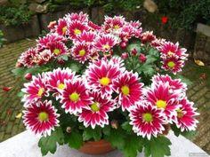 8 ok, amiért szeretjük a krizantémot » Balkonada növénygondozás Vand, Flower Garlands, Gerbera, Flower Pots, Potted Flowers, Chrysanthemum, Holland, Plants, Beautiful