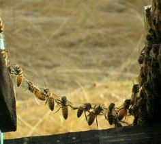 Honeybee chain. This is called 'festooning'. That is how they make the natural comb shape. Team work is sweet.                                                                                                                                                                                 More