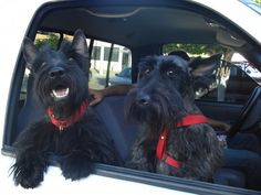 """Scottie on the left """"I love to ride"""" Scottie on the right """"Crap"""" I Love Dogs, Cute Dogs, Terrier Dogs, Cairn Terrier, Westies, Little Dogs, Dog Life, Yorkie, Cute Animals"""