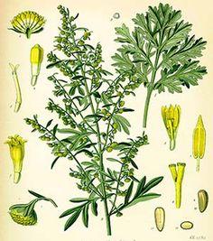 Absinthe| Remèdes de Grand-Mère