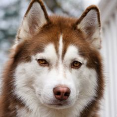Husky - I think reds are so pretty, especially when they have the blue Siberian eyes.