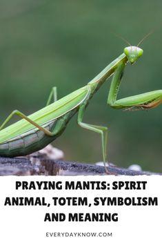Praying Mantis: Spirit Animal, Totem, Symbolism and Meaning Spirit Animal Totem, Animal Spirit Guides, Animal Totems, Animal Totem Meanings, Animal Symbolism, Beautiful Bugs, Animals Beautiful, Praying Mantis Symbolism, Spiritual Meaning