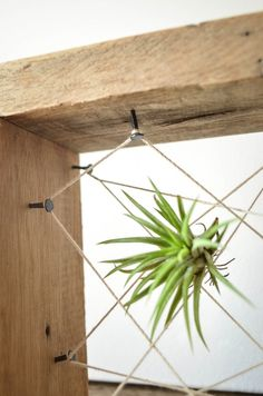 Tillandsia (or air plants) are perhaps best known for being low-maintenance plants you can place inside a terrarium as they don't need soil to grow. But if you're tired of seeing miniature xeriscaped scenes inside what look like miniature greenhouses, here are a few ways to think outside the glass box.