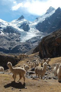 Alpacas, Peru. Photo by Michael Rees - #Alpacas
