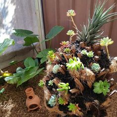 Dead fern tree repurposed into a succulent tree. Reuse that dead stump in your garden and make a succulent tree. They are low maintence and look great. Plastic Pumpkins, Glass Pumpkins, Diy Fizzy Bath Salts, Succulent Tree, Teal Pumpkin Project, Tree Fern, Perfect Plants, Succulents Diy, Flower Pots