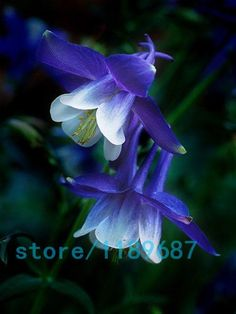 Beautiful Blue Columbine Although this blossom is frequently grown in gardens… Exotic Flowers, Amazing Flowers, My Flower, Flower Power, Beautiful Flowers, Cactus Flower, Beautiful Gorgeous, Absolutely Stunning, Simply Beautiful