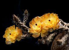 Pterocactus tuberosus (Pfeiffer) Britton