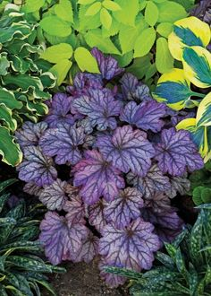 Dolce® 'Blackberry Ice' - Coral Bells - Heuchera hybrid want all of these and the hostas to go with them Purple Garden, Shade Garden, Garden Plants, Shade Perennials, Shade Plants, Outdoor Plants, Outdoor Gardens, Coral Bells Heuchera, Yellow Plants