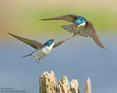 Bob Feldman captured this aerial battle between two tree swallows in some wetlands near his home.