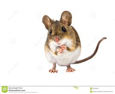 Begging Field Mouse on white background by CreativeNature_nl on PhotoDune. Frontal view of begging Wood mouse (Apodemus sylvaticus) with cute brown eyes standing on white background Kangaroo Rat, Harvest Mouse, Animal Magic, Cute Mouse, White Background Photo, Tier Fotos, Fairy Land, Fairy Tales, Creature Design