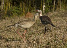 Foto seriema (Cariama cristata) por Fernando Cipriani   Wiki Aves - A Enciclopédia das Aves do Brasil