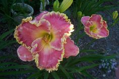 """Shores of Time----6"""" bl 26"""" tall---rose with gold edge  early to mid bloom season---$30.00 df"""