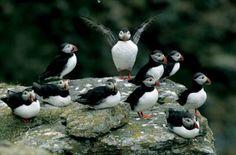 Bildresultat för lofoten birds