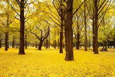 Herbstliche Ginkgo-Bäume im Yoyogi-Park, Shibuya-ku, Tokio, Japan Microsoft Windows, Yoyogi Park, Tree Wallpaper, Nature Wallpaper, Forest Wallpaper, Fall Wallpaper, 1080p Wallpaper, Landscape Wallpaper, Autumn