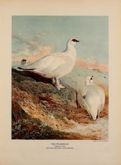 The natural history of British game birds,.London,Longmans, Green and Co.,1909.