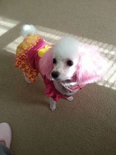 Thank you Diane for sharing with The Poodle Patch Community...  and your little Heidi looks quite cute in her dress...