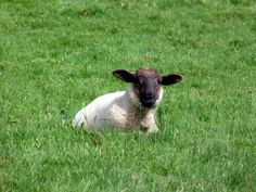 ................ D U B L I N I A Lamb, Animals, Animales, Animaux, Animal, Animais, Baby Sheep