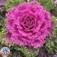 Ornamental Kale Glamour Red F1