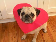 Pug dog and cute heart photo