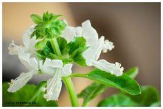 Medicina natural - Manjericão (Ocimum basilicum) #alcanceosucesso