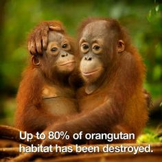 STOP BUYING PRODUCTS CONTAINING PALM OIL!