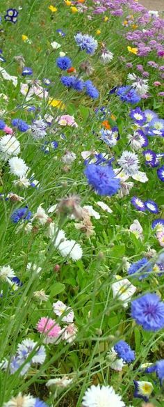 wild flowers/I think these are cornflowers, that blue flower pattern that was on the corning ware many years ago.