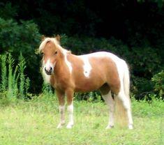 miniature horses | Pennsylvania Miniature Horses | PA Miniature Horse For Sale ...